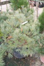 Pinus* strobus \'Nana\'
