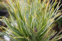 Pinus cembra \'Compacta Glauca\'