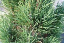 Pinus nigra \'Green Tower\'
