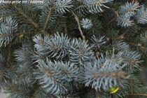 Pinus parviflora \'Glauca\'
