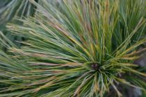 Pinus strobus \'Minima\'