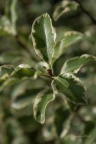 Pittosporum tenuifolium \' Variegatum \', arbuste à feuillage persistant panaché vert et blanc et à petites fleurs pourpres au printemps.