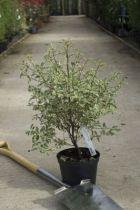Pittosporum tenuifolium \' Variegatum \'