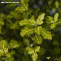 Pittosporum tenuifolium \'Abbotsbury Gold\'