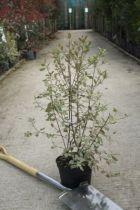 Pittosporum tenuifolium \'Elisabeth\'