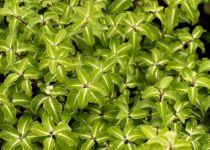 Pittosporum tenuifolium \'Gold Star\'