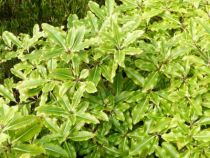 Pittosporum tenuifolium \'Golden King\'