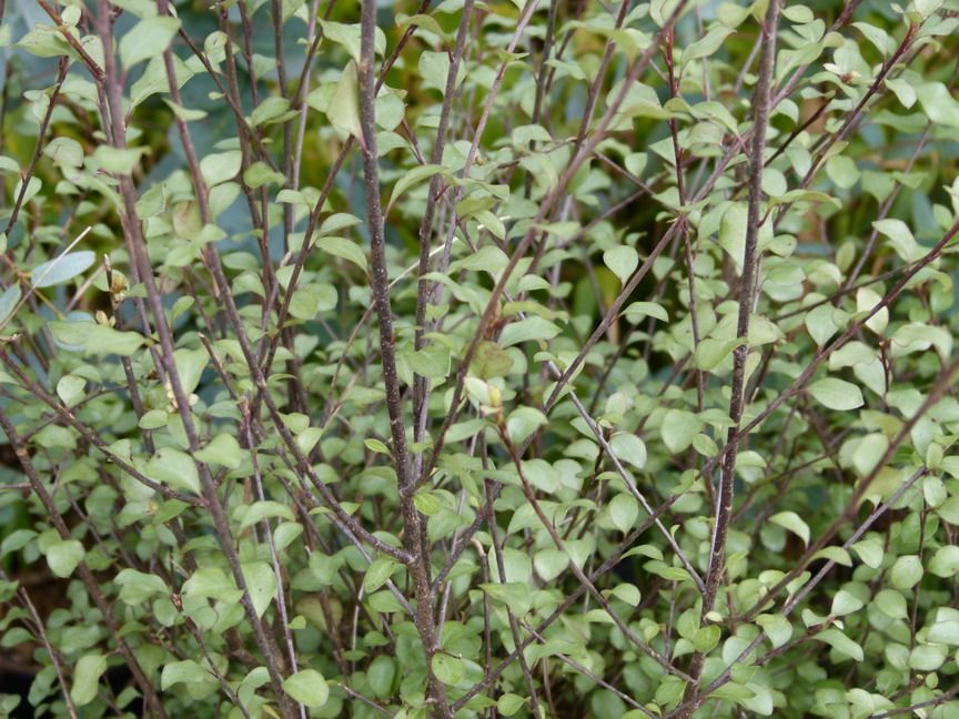 Pittosporum tenuifolium \'Green Elf\'