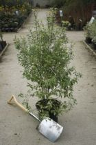 Pittosporum tenuifolium\' Irène Patterson \'