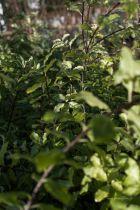 Pittosporum tenuifolium \'Irène Patterson\'