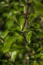 Pittosporum tenuifolium \'Mayi\', arbuste persistant au feuillage vert foncé.