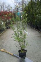 Pittosporum tenuifolium \'Mayi \'