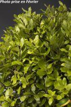 Pittosporum tenuifolium \'Midget\'