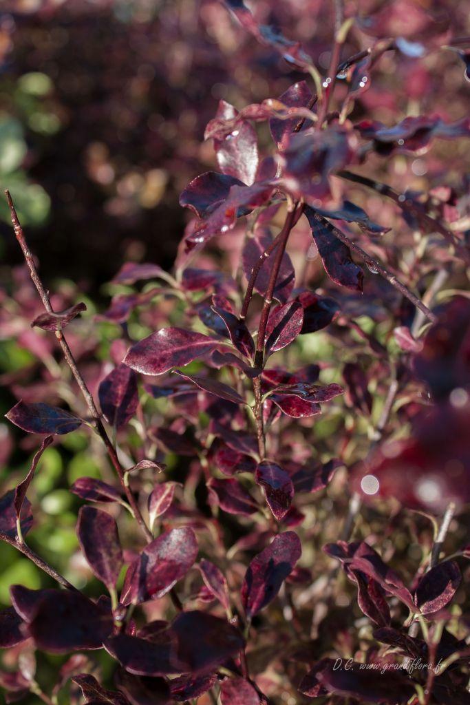 Pittosporum tenuifolium \'Purpureum\'