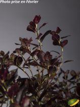 Pittosporum tenuifolium \'Tom Thumb\'