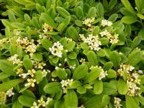 pittosporum tobira nana, arbuste bas persistant vert aux fleurs crèmes au printemps parfumées.
