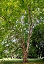 Platanus* acerifolia