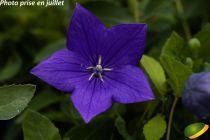 Platycodon astra bleu