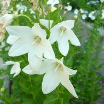 Platycodon grandiflora \'Fuji White\'