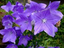 Platycodon grandiflorus \'Fuji Bleu\'