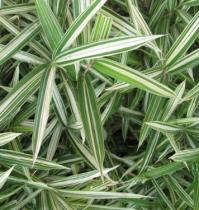 Bambou pleioblastus chino Elegantissimus