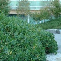 Bambou pleioblastus distichus