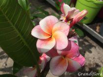 Plumeria rubra - Frangipanier