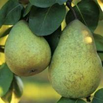 Poirier \'Beurre Hardy\', arbre fruitier caduc à feuille verte et aux fruits vert bronzé en automne.