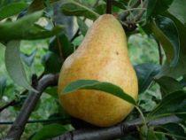 Poirier \'Docteur Jules Guyot\', arbre fruitier caduc à feuille verte et aux fruits jaune verdâtre en été.