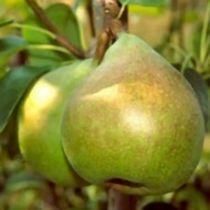 Poirier \'Doyenne de Comice\', arbre fruitier caduc à feuille verte et aux fruits jaune et vermillon en automne.