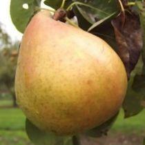 Poirier \'Marguerite Marillat\', arbre fruitier caduc à feuille verte et aux fruits jaune paille en automne.