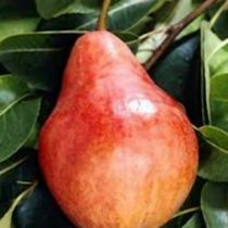 Poirier \'William Rouge\', arbre fruitier caduc à feuille verte et aux fruits jaune rouge en été.