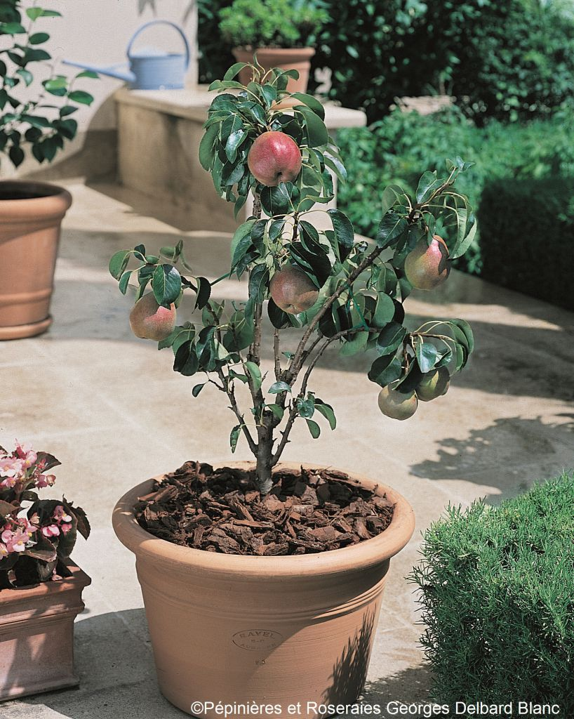 Poirier Garden Gem® pyred - Pyrus communis