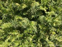 Polemonium caeruleum \'Brise d\'Anjou\'