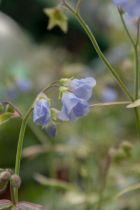 Polemonium reptans \'Stairway to Heaven\', vivace au feuillage caduc vert marginé de rose au printemps puis de crème, aux fleurs bleu pâle au printemps.