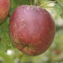 Pommier \'Belle de Boskoop\', arbre fruitier à feuille caduc verte et aux fruits jaune et rouge en hiver.