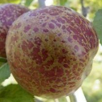 Pommier \'Chailleux\', arbre fruitier à feuille caduc verte et aux fruits rouge marbré en automne.