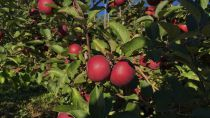 Pommier \'Chinon\' ® - Malus*
