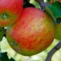 Pommier \'Delbard Celeste\' ® deltana, arbre fruitier à feuille caduc verte et aux fruits rouge brique en automne.