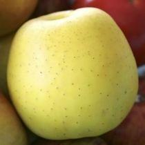 Pommier \'Golden\', arbre fruitier à feuille caduc verte et aux fruits jaune d\'or en été.