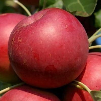 Pommier \'Melrose\', arbre fruitier à feuille caduc vert et aux fruits jaune strié de rouge en été.