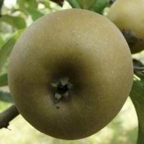 Pommier \'Patte de Loup\', arbre fruitier à feuille caduc verte et aux fruits brun en hiver.