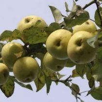 Pommier \'Reinette du Mans\', arbre fruitier à feuille caduc verte et aux fruits jaune clair en hiver.