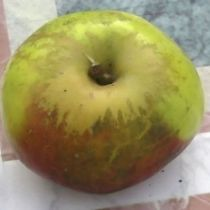 Pommier \'Teint Frais\', arbre fruitier à feuille caduc verte et aux fruits  rouge strié de vert en hiver.