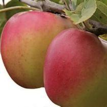 Pommier \'Winter Banana\', arbre fruitier à feuille caduc vert et aux fruits jaune lavé de rose en automne.