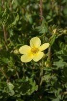 Potentilla arbuscula, arbuste au feuillage caduc vert et aux fleurs jaunes en été.