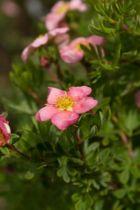 Potentilla fructicosa \'Lovely pink\', petit arbuste de jardin à la longue floraison rose tendre à rose plus foncé tout l\'été.