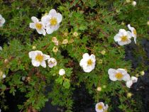 Potentilla fructicosa \'Sophie Bush\', petit arbuste à longue floraison rose pâle de juin à septembre pour tous les jardins ensoleillés.