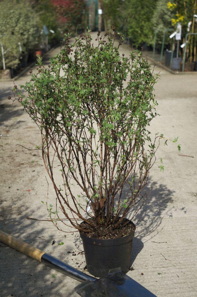 Potentilla fruticosa \'Arbuscula\'
