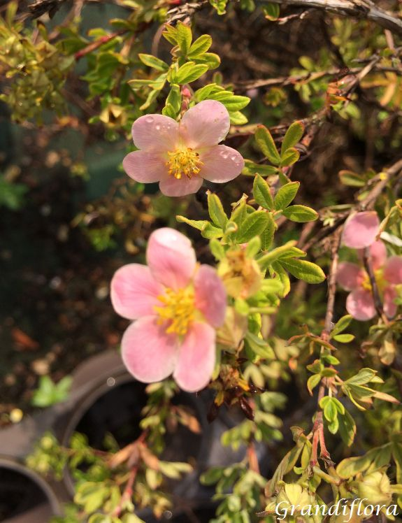 Potentilla fruticosa \'Lovely pink\'